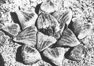 Fig.10. non Haworthia emelyae v. Poelln. from Dysseldorp, east of Oudtshoorn (KG 146/71). (H. bayeri)