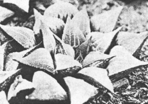 Fig.5. Haworthia emelyae v. Poelln. Also KG138/72.