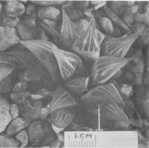 """Fig. 6. Haworthia mirabilis Haw., GGS 3253, """"H. nitidula var. E., Bredasdorp, Mrs. Reid. =3429 but darker green. Compared with nitidula not as acuminate, margins and keel less toothed, 3—7 face lines""""."""