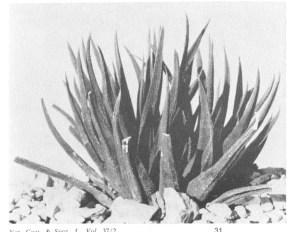 Fig.1. Haworthia angustifolia Haw. (var. altissima Bayer)  from Riebeek East.