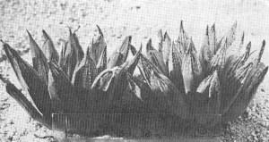 Fig. 3. Haworthia maculata (vPoelln.) Bayer. KG 631/69, Brandvlei Dam.