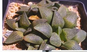 11. JDV97-135.3 H. pygmaea. Herbertsdale.