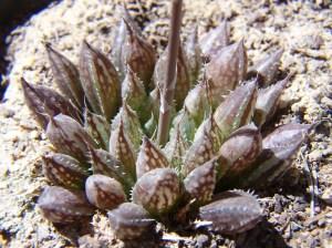 20. 6815.1 H. maculata. Audensberg.