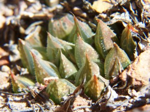 20. 7526.4 H. maculata. Die Nekkies.