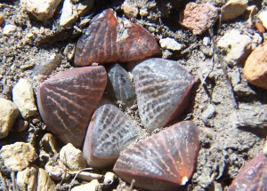 4. MBB7507.4 H. magnifica var splendens 'fusca'. Paulsfontein.