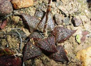 5. GMarxsn.1 H. magnifica var splendens 'esterhuizenii'. E Albertinia