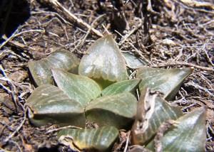 7. JDV86-75.5 H.pygmaea var argenteomaculosa. Cooper Siding.