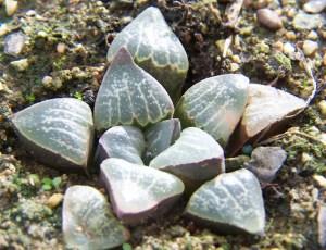 8. JDV91-39.1 H. pygmaea var argenteomaculosa. Humor.