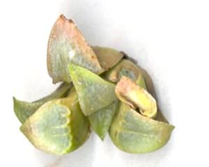 Fig. 11b. MBB7503.2 H. mirabilis. Die Kop Mid.