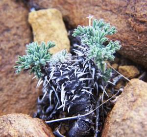 Fig. 6 Pelargonium stipulaceus. Oskopvlakte.
