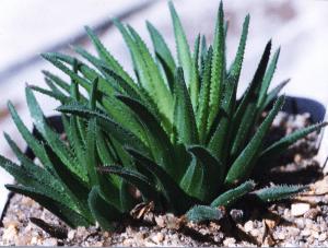 JDV97-136 Haworthia chloracantha v. denticulifera Herbertsdale