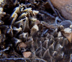 MBB7829 H. chloracantha Rooiheuwel