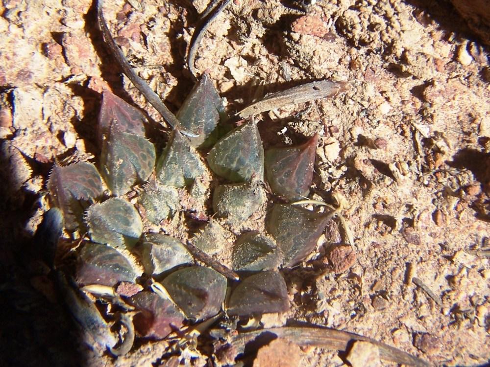 1.9 sn4 H. maculata, Die Nekkies - east.