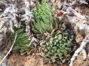 10.1 7995 H. herbacea, S Brandvlei Brickfield