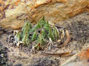 10.14 7995 H. herbacea, S Brandvlei Brickfield