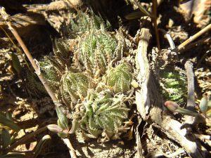 10.31 7996 H. herbacea, E Brandvlei Brickfield