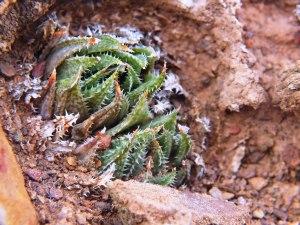 10.7 7995 H. herbacea, S Brandvlei Brickfield