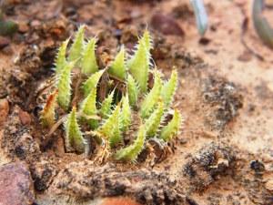 10.8 7995 H. herbacea, S Brandvlei Brickfield