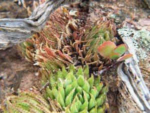 10.9 7995 H. herbacea, S Brandvlei Brickfield