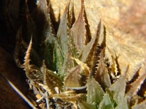 5.30 7991b H. maculata, Ouhoekberg