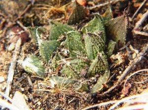 8.13 7992 H. maculata, Hammansberg W