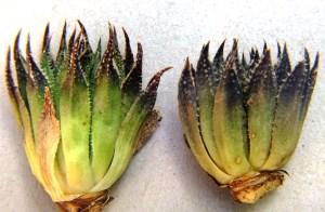 8.8 7992 H. maculata, Hammansberg
