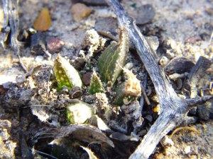 9.8 7997 H. pubescens, Dewetsberg