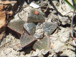 Fig. 12 7914 H. mirabilis