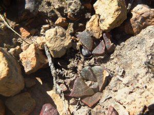Fig. 15 7899 H. mirabilis