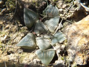 Fig. 26 7899 H. mirabilis