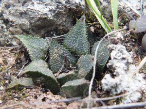 Fig. 277 7906 H. mirabilis.