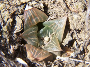 Fig. 40 6666 H. retusa 'nigra'