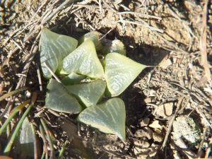Fig. 50 6666 H. retusa 'nigra'