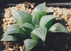 Fig. 61 6666 H. retusa 'nigra'