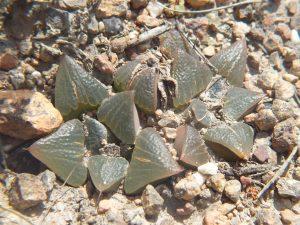 Fig. 7 7914 H. mirabilis
