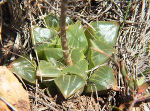 Fig. 87 7896 H. retusa 'nigra'