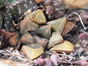 Fig. 111 7967 Spitzkop (quartz rock)