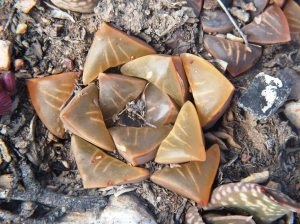 Fig. 115 7967 Spitzkop (quartz rock)