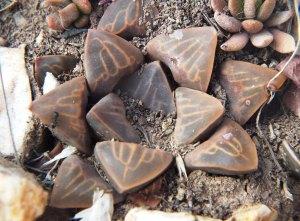 Fig. 118 7967 Spitzkop (quartz rock)