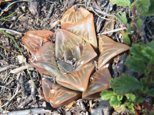 Fig. 120 7967 Spitzkop (quartz rock)