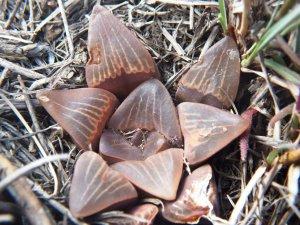Fig. 127 7967 Spitzkop (quartz rock)