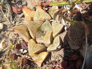 Fig. 138 7967 Spitzkop (quartz rock)