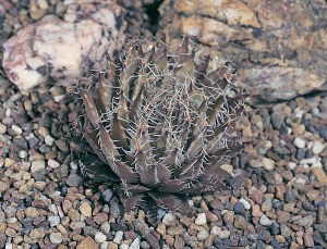 Haworthia arachnoidea var. nigricans JDV94/31 west of Muiskraal. Glabrous forms grow intermingled with setate forms.