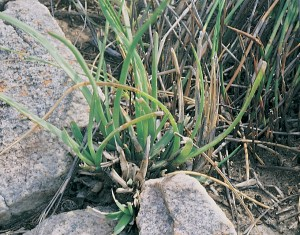 Haworthia blackburniae var. blackburniae JDV90/20 south of Calitzdorp. Here clump-forming with quite long leaves.