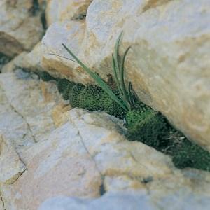 Haworthia blackburniae var. blackburniae JDV92/92 Anysberg. The plants here are not clump-forming.