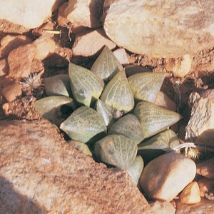 Haworthia emelyae var, emelyae JDV90/120 south-east of Oudtshoorn. Fairly glabrous plants which strengthen the link to the var. comptoniana.
