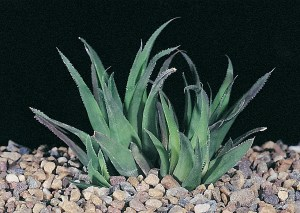 Haworthia floribunda var. major JDV91/3 south of Swellendam. Leaves often without spines and tips sometimes pointed.