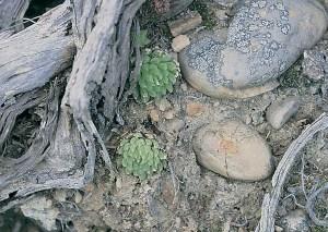 Haworthia gracilis var. picturata JDV90/76 Andrieskraal. Always on rock faces and seldom solitary.