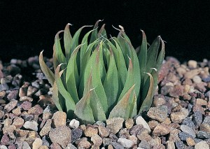 Haworthia gracilis var. viridis MBB970 Paardepoort. Typically with brighter green incurving leaves with no spines. However, the continuity with H. decipiens var. minor has to be remembered.