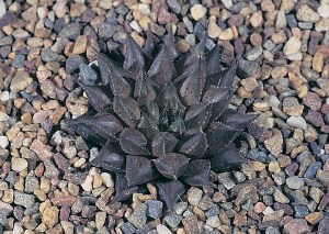 Haworthia maculata var. maculata JDV86/47 Brandvlei. Each localized population is a little different from its neighbours.